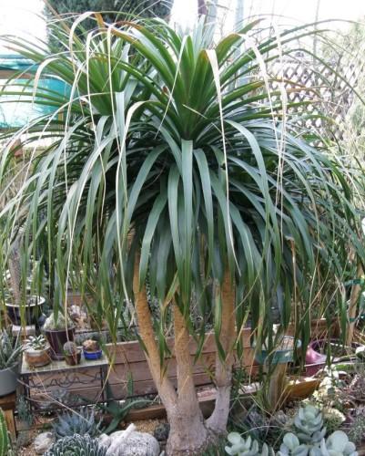 Beaucarnea guatemalensis  semillas