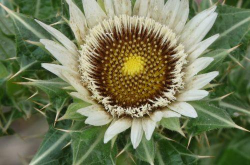 Berkheya cirsiifolia  semillas