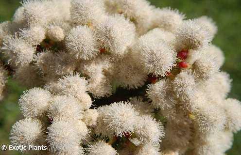 Berzelia abrotanoides arbutso de pierna roja semillas