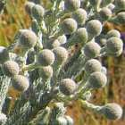 Berzelia burchellii  cемян