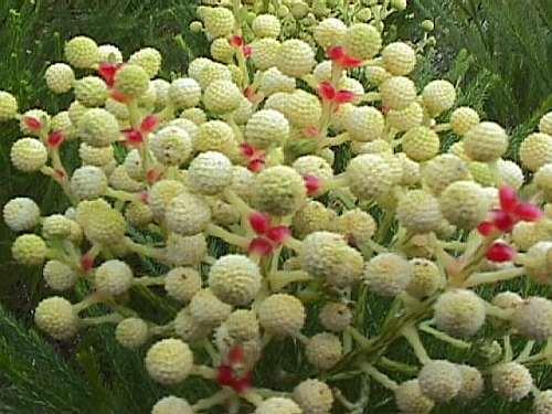 Berzelia languinosa  semillas