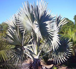 Bismarckia nobilis Silver Palmier de Bismarck graines