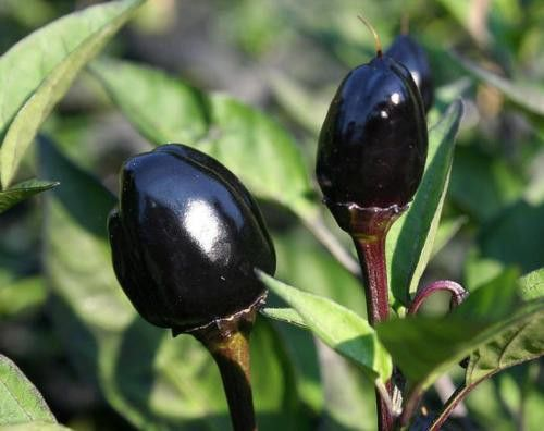 Black Olive Chili Capsicum annuum  semillas