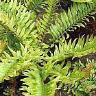 Blechnum tabulare Helecho arb?reo semi