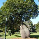 Brachychiton rupestris Queensland-Flaschenbaum Samen