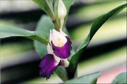 Brachycorythis helferi  Семена