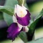 Brachycorythis helferi Orchideen Samen