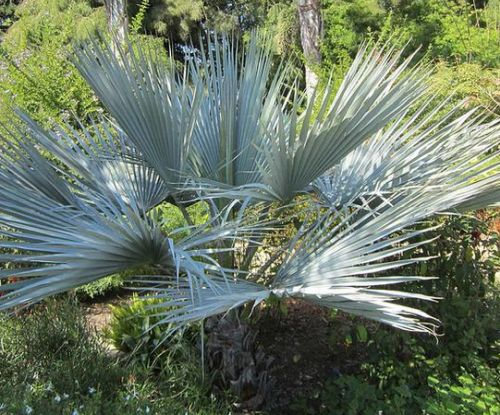 Brahea sp. Super Silver Silberne Felsen-Palme Samen