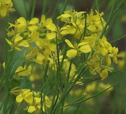 Brassica nigra Scharfer englischer schwarzer Senf Samen