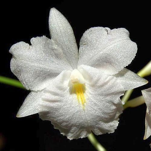 Broughtonia sanguinea var flava Orchideen Samen