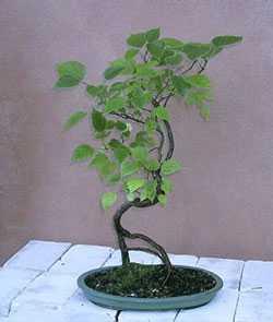 Broussonetia papyrifera Papiermaulbeerbaum Samen