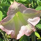Brugmansia insignis