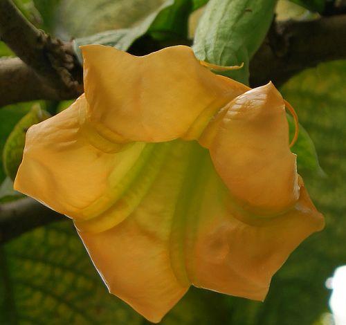 Brugmansia sanguinea Aurea Goldene Engelstrompete Samen