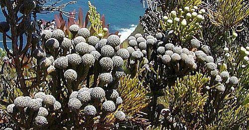 Brunia nodiflora Schneebusch Samen