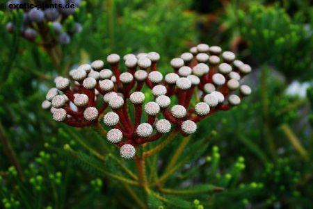 Brunia stokoei  semillas