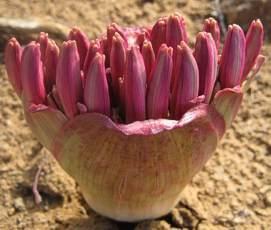Brunsvigia bosmaniae Kerzenständer Lilie Samen