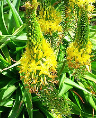 Bulbine latifolia Breitblättrige Bulbine Samen
