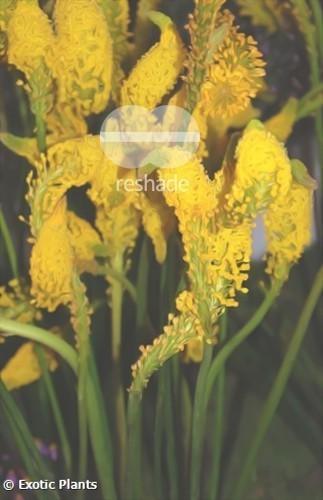 Bulbinella cauda-felis gelb Bulbinella Samen