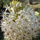 Bulbinella cauda-felis Bulbinella graines