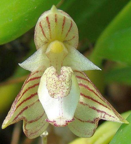 Bulbophyllum ambrosia Orchideen Samen