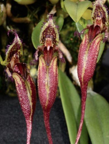 Bulbophyllum fascinator  semillas