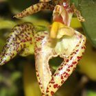 Bulbophyllum lasiochilum  cемян