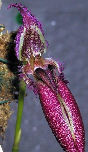 Bulbophyllum longissimum putidum Orchideen Samen