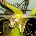 Bulbophyllum polystictum  cемян
