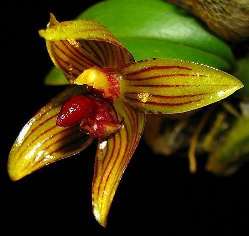 Bulbophyllum psittacoglossum Orchideen Samen