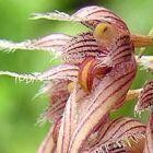 Bulbophyllum sanguineopunctatum  cемян