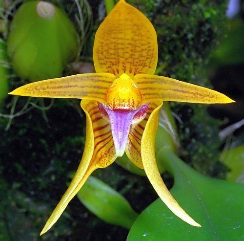 Bulbophyllum smitinandii Orchideen Samen