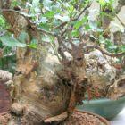 Bursera fagaroides Elefantenbaum Samen
