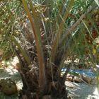 Butia capitata Желейная пальма  cемян