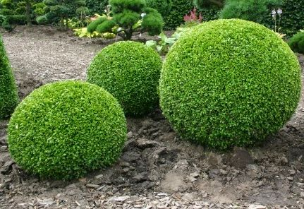 Buxus sempervirens  semillas