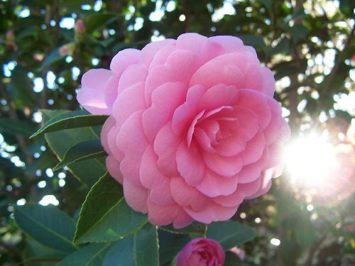 Camellia japonica  semillas