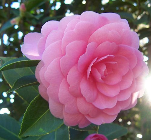 Camellia japonica Pink Perfection  Семена