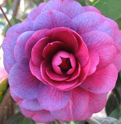 Camellia japonica purple Kamelie - Teestrauchgewächs Samen