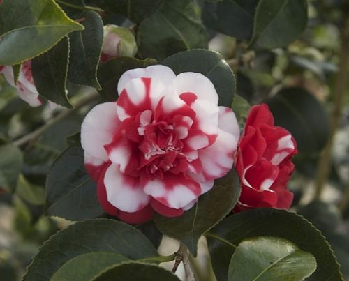 Camellia japonica red white  Семена