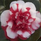 Camellia japonica red white Cam?lia - Rose du Japon graines