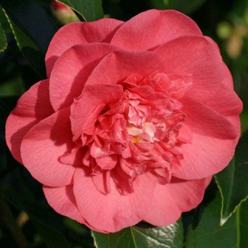 Camellia japonica salomon  semi