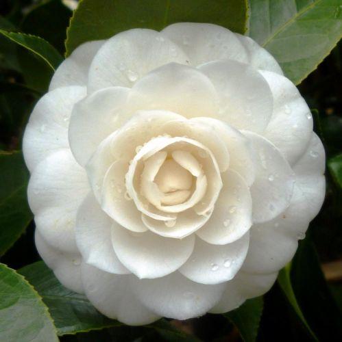 Camellia japonica white  semillas