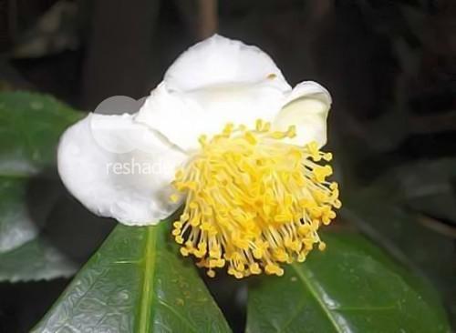 Camellia sinensis té verde semillas