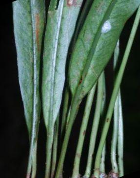 Campyloneurum amphostenon  semi