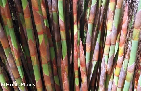Cannomois virgata Strand-Keulenbaum Samen