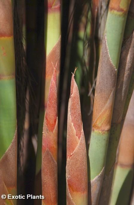 Cannomois Virgata Seeds Cannomois Virgata Bell Reed