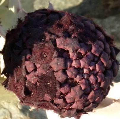 Caralluma russeliana  semillas