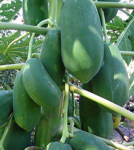 Carica papaya Papaya - Melonenbaum Samen