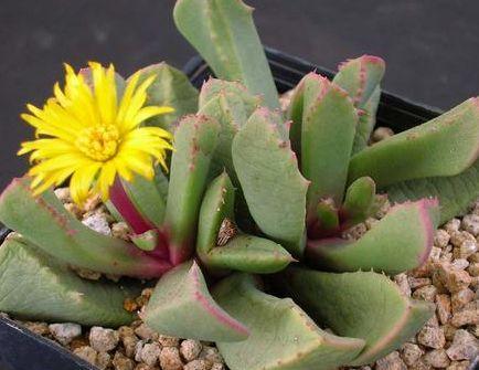 Carruanthus peersii  semillas