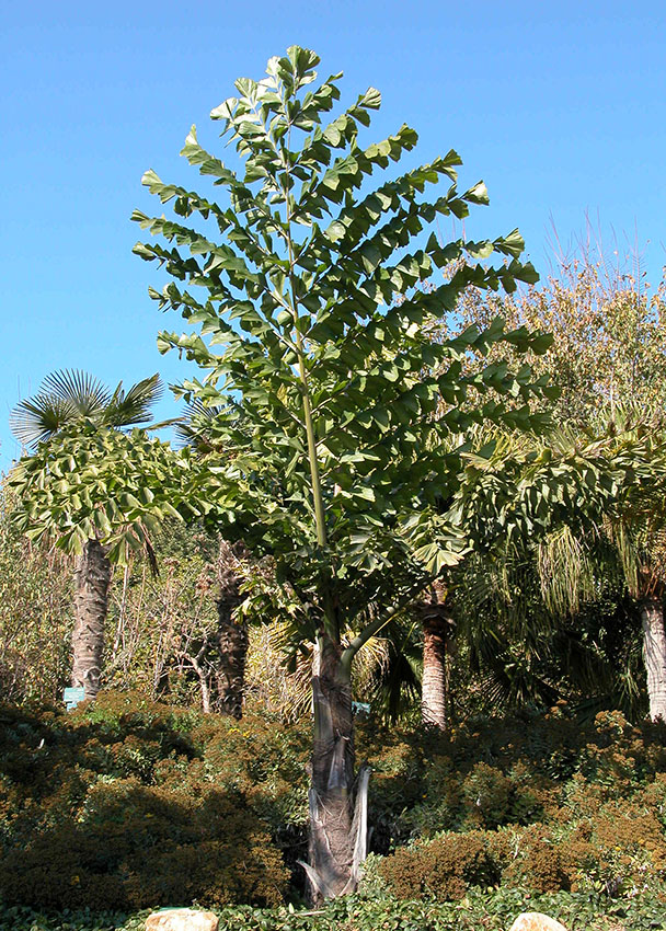 Caryota obtusa  semillas