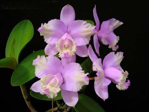 Cattleya lodigeesii Orchideen Samen